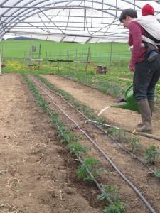 2. Mai 2015: die frisch gepflanzten Tomaten werden angegossen.
