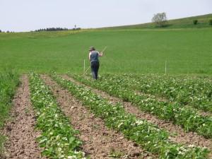 12. Mai 2015: Der letzte Hackgang vor dem Einbringen des Strohs. Die Erdbeeren sind in voller Blüte.