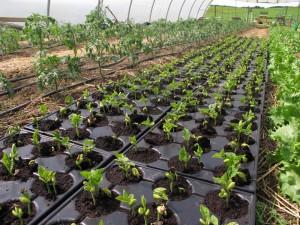 """12. Mai 2015: Die Stangenbohne """"Neckargold"""" ist gekeimt, wir bauen sie zur Saatgutvermehrung an."""