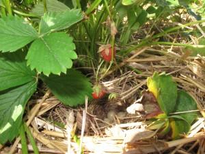 Das Vogelnest unter einer Erdbeerpflanze