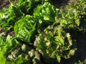 An Gemüse haben wir derzeit verschiedene Salate: Batavia und Kopfsalat, ...