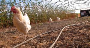 scharren jetzt vier Hühner den Boden durch und picken hoffentlich auch die Puppen des Salatsamenwicklers heraus.