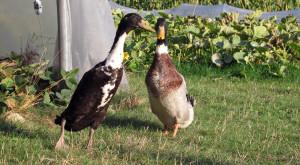 Hühner und Laufenten sind nun gemeinsam für die Schädlingsbekämpfung zuständig.