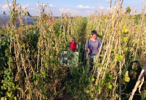 Für die Ernte der ausgereiften Stangenbohnen ist das trockene Wetter optimal.