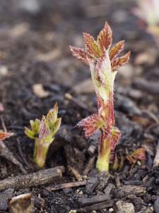 Die ersten neuen Himbeer-Triebe drücken sich nach dem sehr kühlen März erst Anfang April durch die Mulchdecke aus Kompost...