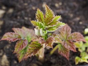 ...und entfalten die zarten jungen Blätter.