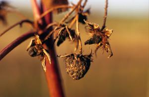 Auch die Überreste der Himbeerernte genießen die Herbstsonne.