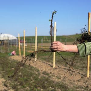 """So sieht das Pflanzgut aus: """"einjährige, verholzte Ruten"""" der Sorte Polka. Eine ökologische Vermehrung gibt es bei Himbeeren nicht, deshalb mussten wir auf konventionell erzeugtes Pflanzgut zurück greifen."""