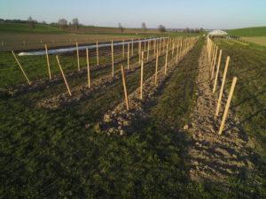 Weitere 4 Reihen Himbeeren sind gepflanzt...