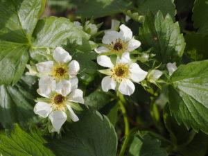 Trotz doppelter Vliesabdeckung haben viele Erdbeerblüten nicht überlebt. Dies erkennt man an der dunklen bis schwarzen Blütenmitte.